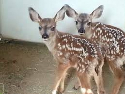 ALABAMA GAME WARDEN JARROD POOLE SHOOTS A 5 YEAR COMMUNITY PET DEER LEAVES HER TWO FAWNS TO STARVE