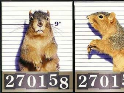"Wanted: McHammond (Hammy) Paulk, aka ""Attack Squirrel"""